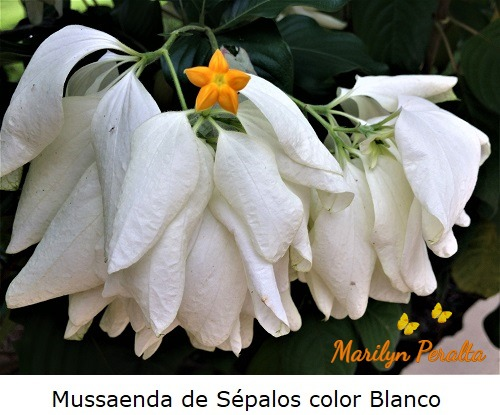 Mussaenda de Sépalos color Blanco
