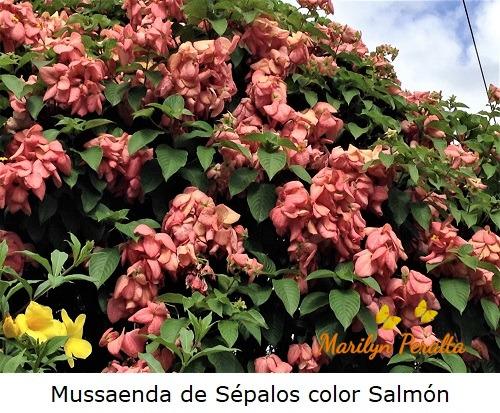 Mussaenda de Sépalos color Salmón