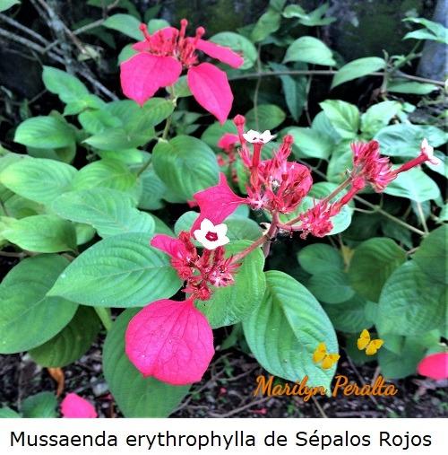 Mussaenda erythrophylla de sépalos rojos