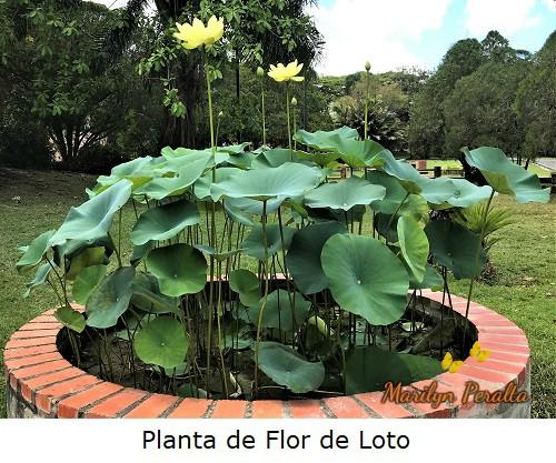 Planta de flor de Loto o Loto Sagrdo