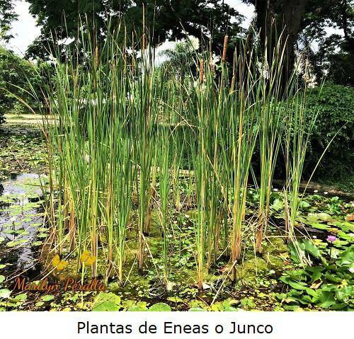 Plantas de Eneas o Junco