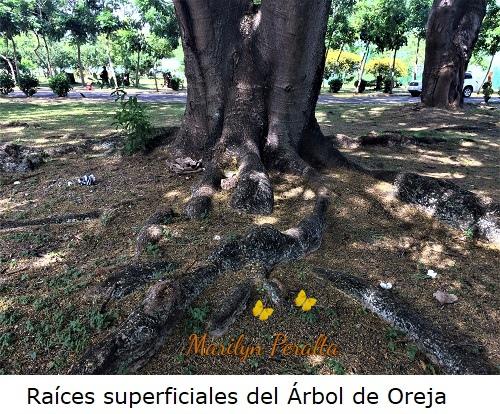 Raíces superficiales del Árbol de Oreja.