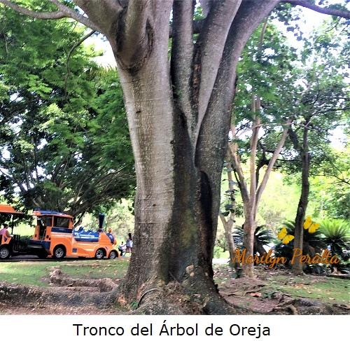 Tronco del árbol de Oreja.