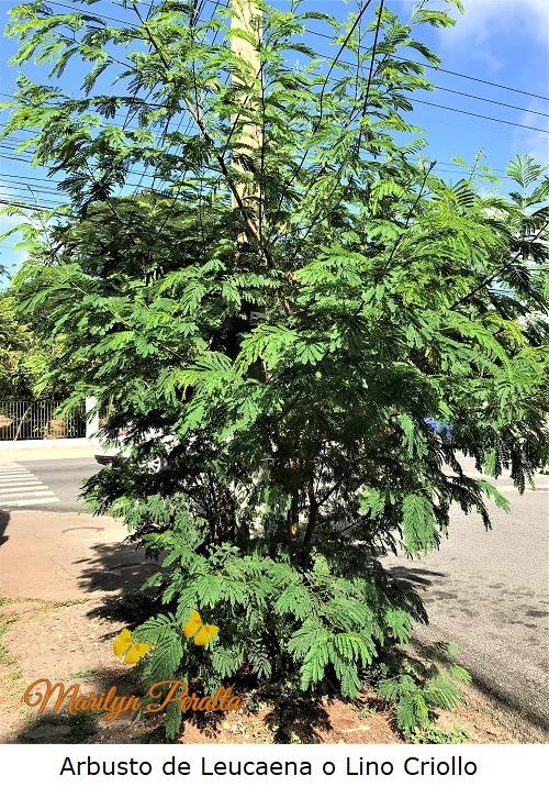 Arbusto de Leucaena o Lino Criollo