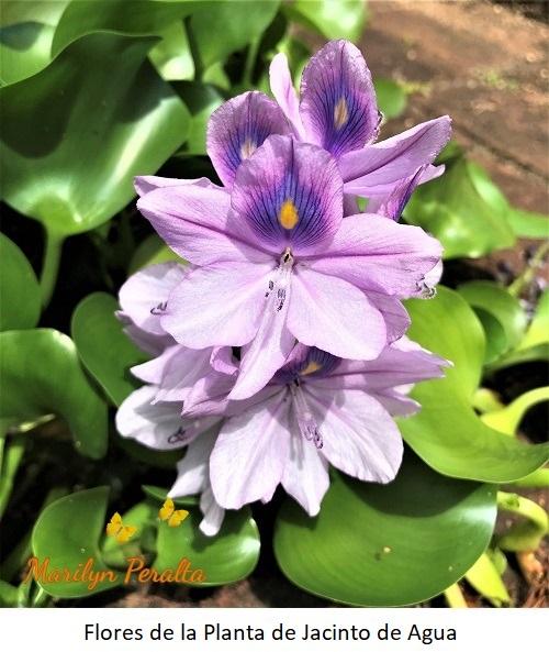 Flor de la Planta de Jacinto de Agua