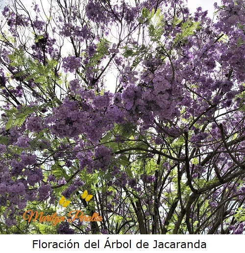 Floracion del Arbol de Jacaranda