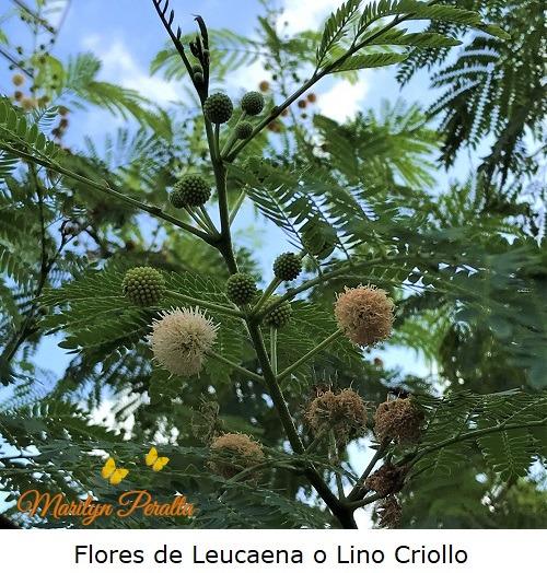 Flores de Leucaena o Lino Criollo