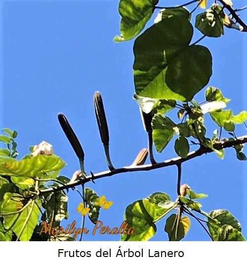 Frutos del Árbol Lanero