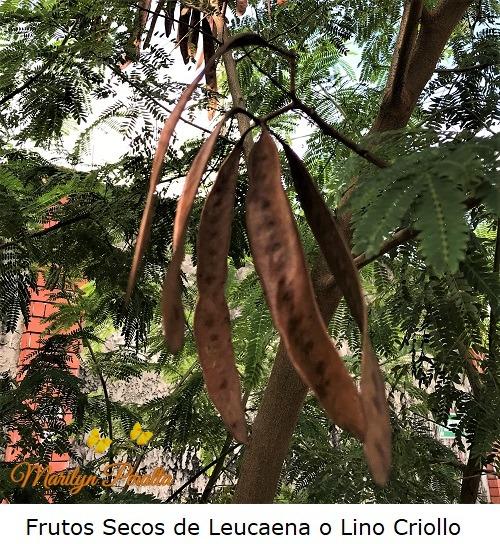 Frutos secos de Leucaena o Lino Criollo