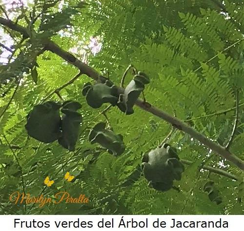 Frutos verdes arbol de Jacaranda