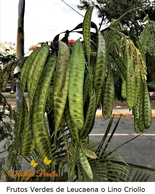 Frutos Verdes de Leucaena o Lino Criollo