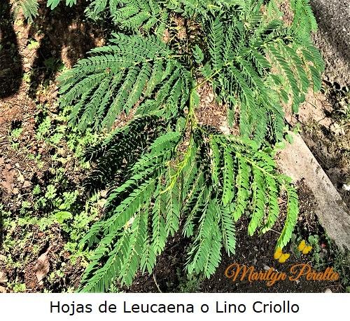 Hojas de Leucaena o Lino Criollo