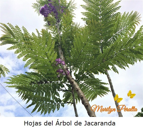 Hojas del Arbol de Jacaranda