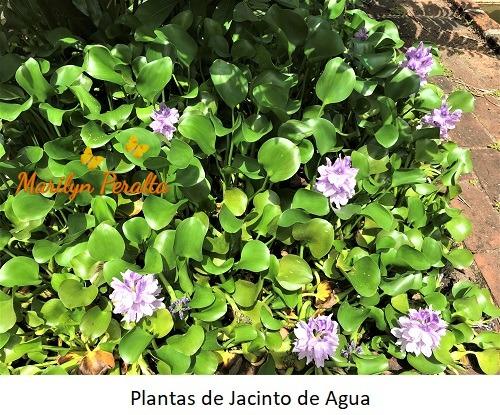 Plantas de Jacinto de Agua