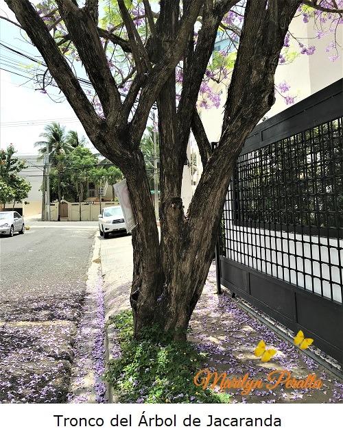 Tronco del Arbol de Jacaranda
