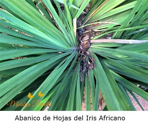 Abanico de Hojas del Iris Africano