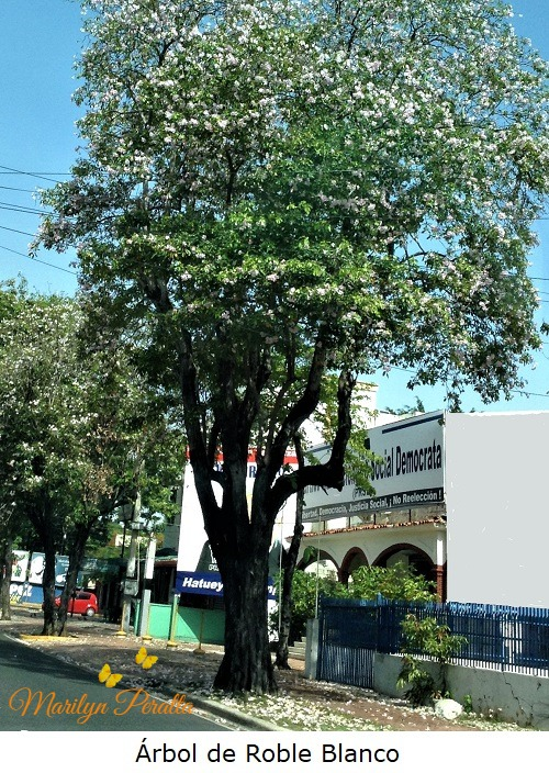 Arbol de Roble Blanco 1