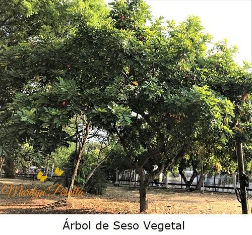 Arbol de Seso Vegetal