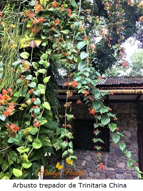 Arbusto de Trinitaria china, enredadera