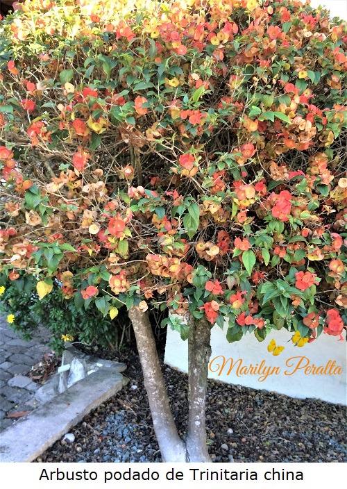 Arbusto de Trinitaria china, podado