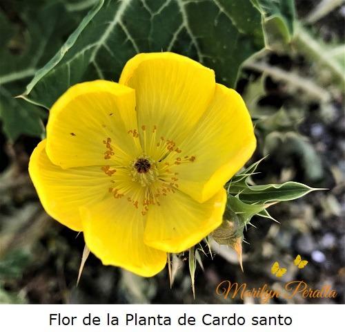 Flor de la Planta de Cardo santo
