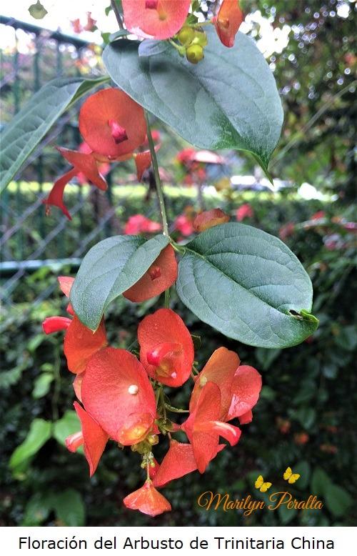 Floración del Arbusto de Trinitaria China