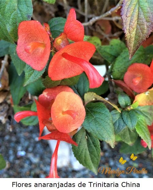 Flores anaranjadas de Trinitaria China