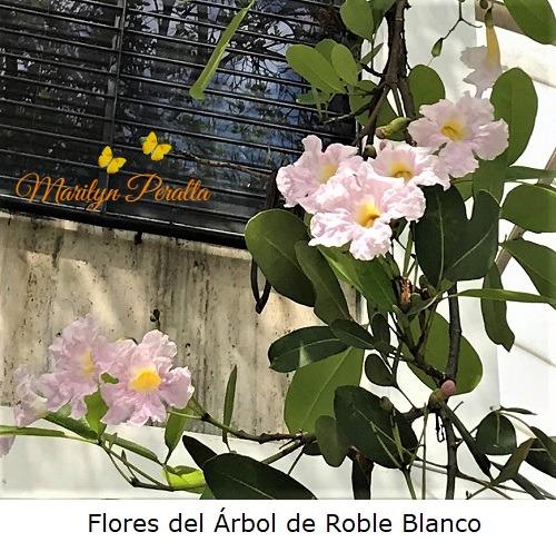 Flores del Arbol de Roble Blanco
