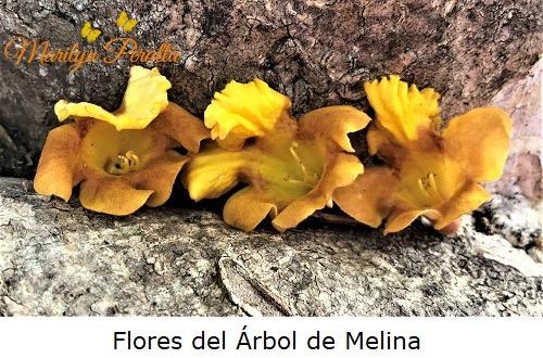 Flores del Árbol de Melina