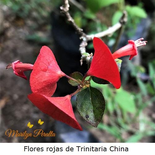 Flores rojas de Trinitaria China