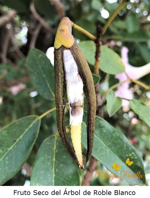 Fruto seco del Arbol de Roble Blanco