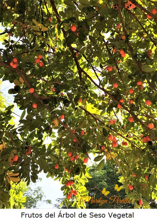 Frutos Arbol Seso Vegetal