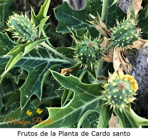 Frutos de la Planta de Cardo santo