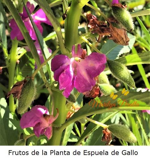 Frutos de la Planta de Espuela de Gallo