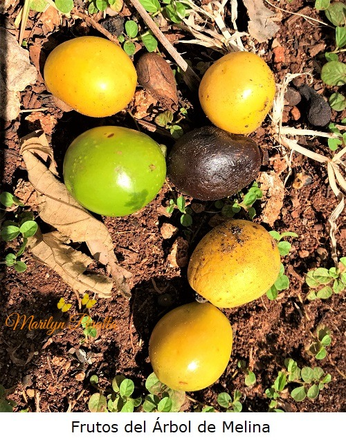 Frutos del Arbol de Melina