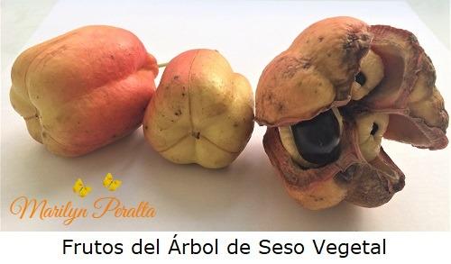 Frutos del Arbol de Seso Vegetal