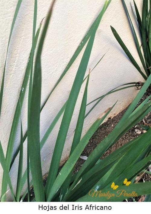 Hojas del Iris Africano