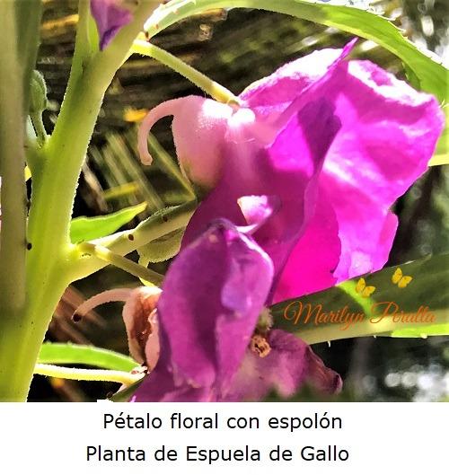 Pétalo floral con espolón, Planta Espuela de Gallo