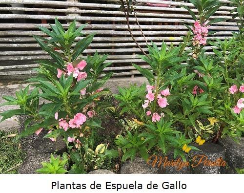 Plantas de Espuela de Gallo