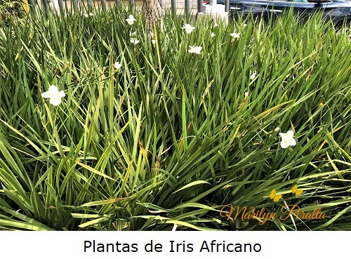 Plantas de Iris Africano