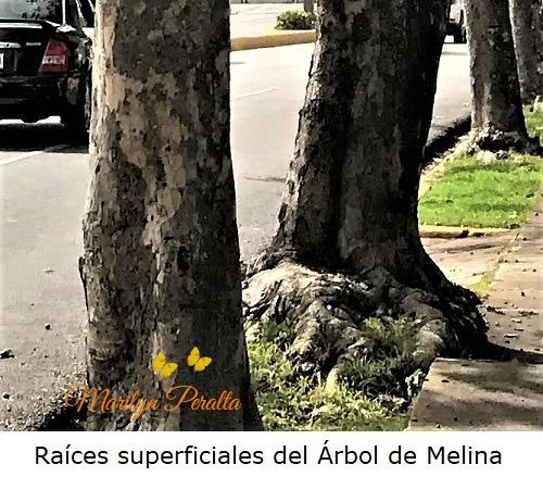Raices superficiales del Arbol de Melina