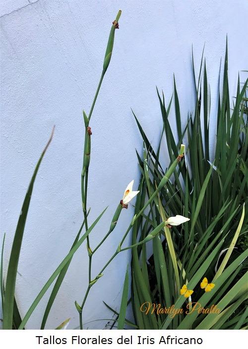 Tallos florales del Iris Africano