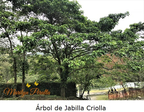Arbol de Jabilla Criolla