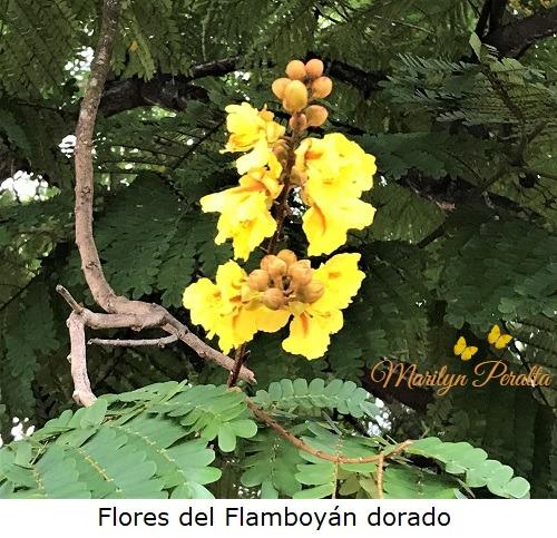 Flores del Flamboyan dorado