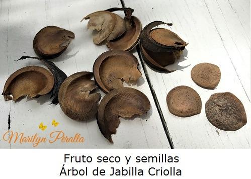 Fruto seco y semillas del Arbol de Jabilla Criolla