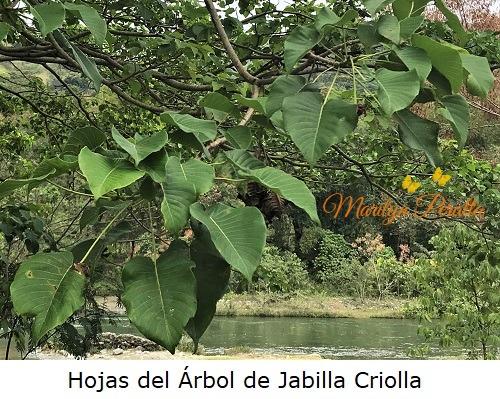 Hojas del Arbol de Jabilla Criolla