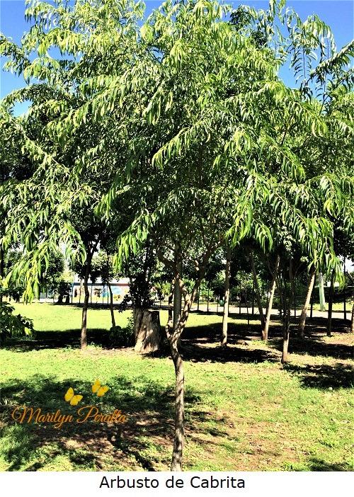 Arbusto de Cabrita