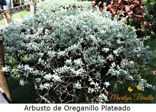 Arbusto de Oreganillo Plateado