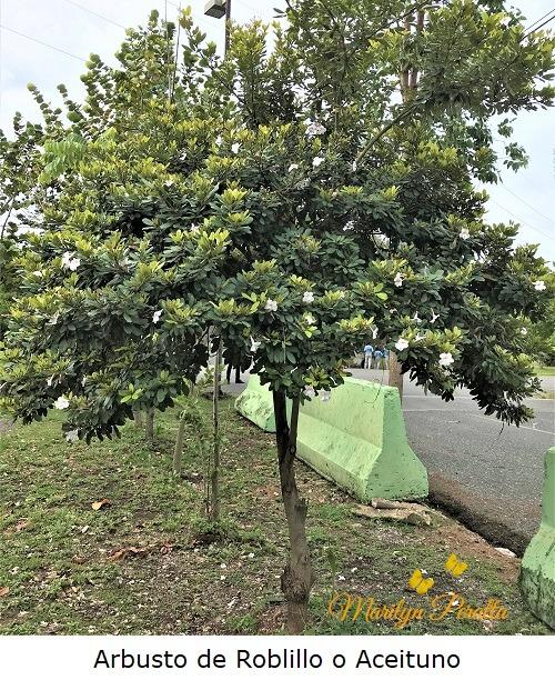 Arbusto de Roblillo o Aceituno