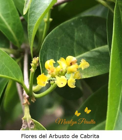 Flores del Arbusto de Cabrita